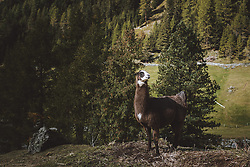 THEMENBILD, Lamas und Alpakas auf einer Bergwiese, aufgenommen am 02. Oktober 2021, Niederthai, Österreich // Llamas and alpacas in a mountain meadow, on 2021/10/02, Niederthai, Austria. EXPA Pictures © 2021, PhotoCredit: EXPA/Stefanie Oberhauser