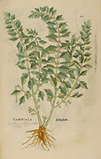 Cardiace 16th century, watercolor, hand painted woodcutting botanical print from Leonhart Fuchs book of herbs: De Historia Stirpium Commentarii Insignes Published in Basel in 1542 The original manuscript this image is taken from shows signs of water damage