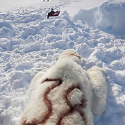 A polar bear (Ursus maritimus) lies spread out over the ice of the Beaufort Sea. He's immobilized from a tranquilizer and on the verge of waking after USGS biologists have just performed their field tests on him. Kaktovik, Alaska