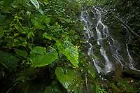 Aroid plants and cascade/waterfall in the Milpe Cloudforest Reserve.