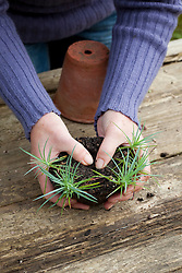 Potting on dianthus (Pinks) cuttings