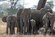 Elephant family group in East African Habitat