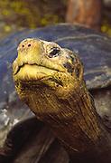 Giant Galapagos tortoise, Darwin Research Center, Santa Cruz Island, Galapagos National Park, Ecuador. Captive, confined.