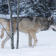 An adult male gray wolf (Canis lupus) marking his territory. Captive Animal