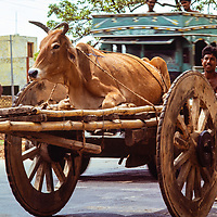 Laborers move a cow with a cart in Dhaka, Bangladesh, 1977