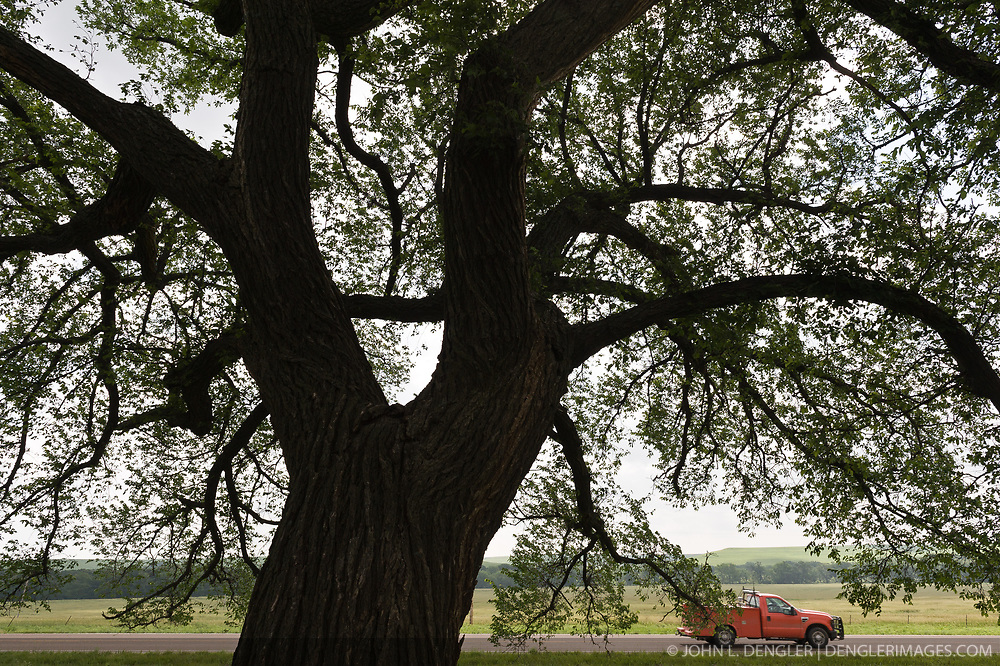 A large American elm tree provides shade at the Tallgrass Prairie National Preserve as a pickup truck passes by on Kansas State Highway 177 near the towns of Strong City and Cottonwood Falls. Highway 177, a National Scenic Byway, passes through the heart of the Flint Hills. Less than four percent of the original 140 million acres of tallgrass prairie remains in North America. Most of the remaining tallgrass prairie is in the Flint Hills in Kansas.  Tallgrass Prairie National Preserve is the only unit of the National Park Service dedicated to the preservation of the tallgrass prairie ecosystem. The Tallgrass Prairie National Preserve is co-managed with The Nature Conservancy.
