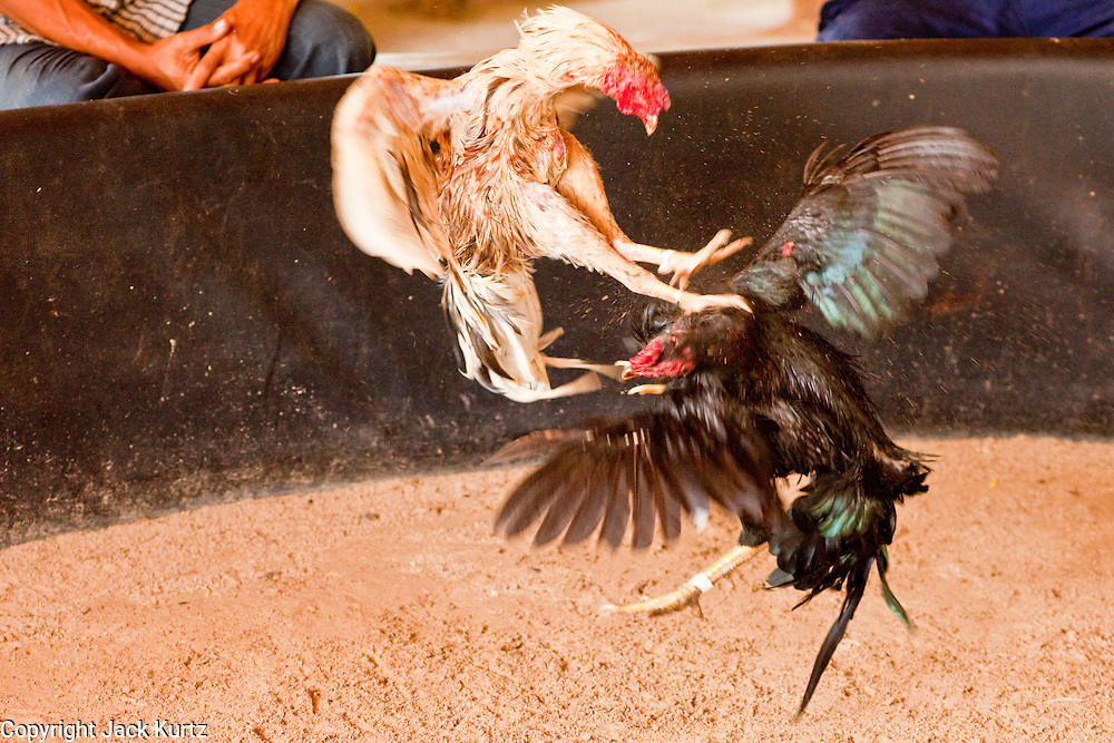 10 APRIL 2010 - PLA PAK, NAKHON PHANOM, THAILAND: Fighting cocks in a small private pit in Pla Pak district of Nakhon Phanom province, Thailand. Cockfighting is enormously popular in rural Thailand. A big fight can bring the ring operator as much as 200,000 Thai Baht (about $6,000 US), a large sum of money in rural Thailand. Fighting cocks live for about 10 years and only fight for 2nd and 3rd years of their lives. Most have only four fights per year. Fighting cocks in Thailand do not wear the spurs or razor blades that they do in some countries and most times the winner is based on which rooster stops fighting or tires first rather than which is the most severely injured. Although gambling is illegal in Thailand, many times fight promoters are able to get an exemption to the gambling laws and a lot of money is wagered on the fights. Many small rural communities have at least one cockfighting arena.   PHOTO BY JACK KURTZ