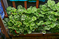 AeroGarden Farm 07-Left. Strawberry Plants (85 days). Image taken with a Leica TL-2 camera and 35 mm f/1.4 lens (ISO 640, 35 mm, f/8, 1/50 sec).