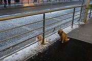 Two pet dogs await their owners outside a supermarket, shiver in the cold during late winter temperatures, on 17th March, 2018, in Prague, the Czech Republic.