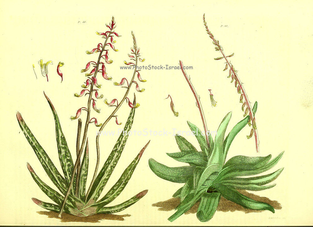 Succulent Plants from Vol 1 of the book The universal herbal : or botanical, medical and agricultural dictionary : containing an account of all known plants in the world, arranged according to the Linnean system. Specifying the uses to which they are or may be applied By Thomas Green,  Published in 1816 by Nuttall, Fisher & Co. in Liverpool and Printed at the Caxton Press by H. Fisher