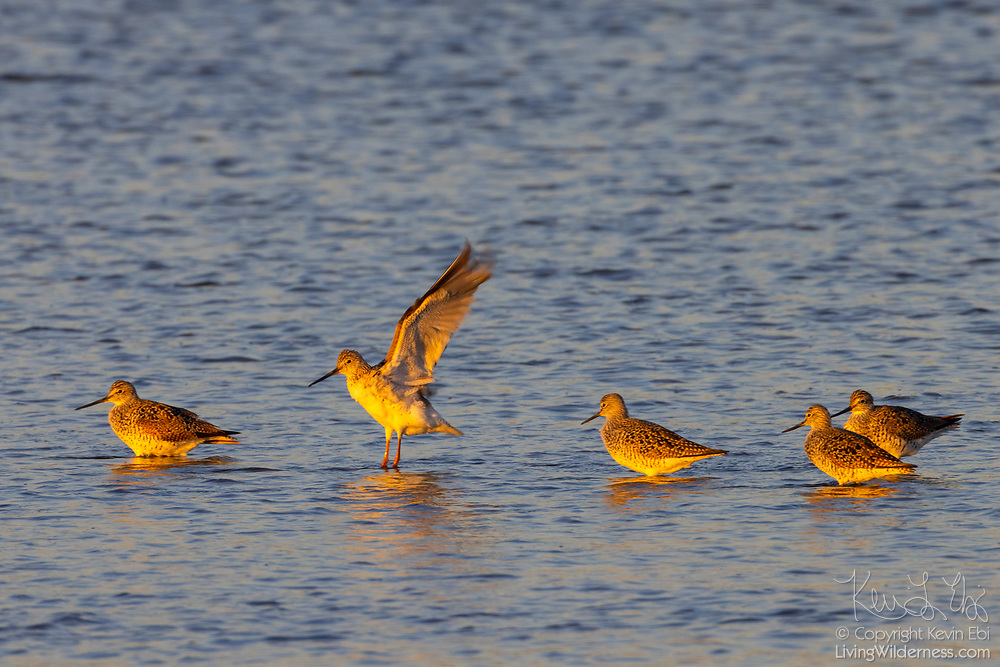 A greater yellowlegs (Tringa melanoleuca) lands among several others in the water of the Stillaguamish River near Stanwood, Washington.