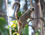 Red Fronted Lemur, Eulemur rufifrons, Male, Near Mantadia National Park, Andasibe, Madagascar, also known as     Bennett's brown lemur, red-fronted brown lemur, Eulemur fulvus rufus, Eulemur rufus, Cathemeral - Active intermittently throughout the day a