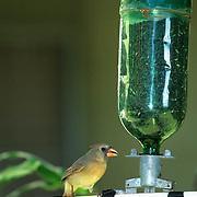 Cardinal (Richmondena cardinalis) Female feeding at bird feeder on Kauai, Hawaii. Introduced secies.