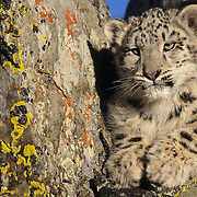 A five-month old snow leopard. Captive Animal