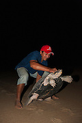 Giant River Turtle (Podocnemis expansa) Jose Belmejo Turning over to keep til daylight.<br /> CAPTIVE-REARING PROGRAM FOR REINTRODUCTION TO THE WILD<br /> CITES II      IUCN ENDANGERED (EN)<br /> Playita Beach, (mid) Orinoco River, 110 Km N of Puerto Ayacucho. Apure Province, VENEZUELA. South America. <br /> L average 90cm, Wgt 30-45kg. Largest fresh water river turtle in S. America.<br /> RANGE: Amazonia, Llanos & Orinoco of Colombia, Venezuela, Brazil, Guianas, Ecuador, Peru & Bolivia.<br /> Project from Base Camp of the Protected area of the Giant River Turtle (& Podocnemis unifilis). (Refugio de Fauna Silvestre, Zona Protectora de Tortuga Arrau, RFSZPTA)