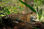 jaguar, Panthera onca, Belize, Belmopan. A rescued captive jaguar was found in the jungle as a small cub by men clear cutting the jungle. The a man hired to cut down the jungle brought the cub home to his family. As the jaguar grew she got too dangerous to keep in his home. A part of land on the edge of the jungle and river has been fenced to keep in the captive jaguar. Jaguar is captivated by a dragon fly. Fence is shown in back ground.
