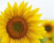 """Happy and bright, the sunflower brings a smile to everyone's face.<br /> <br /> 14"""" x 11""""<br /> <br /> See Pricing page for more information.<br /> <br /> Please contact me for custom sizes and print options including canvas wraps, metal prints, assorted paper options, etc. <br /> <br /> I enjoy working with buyers to help them with all their home and commercial wall art needs."""