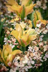 Tulipa 'Golden Artist' with Erysimum cheiri 'Sunset Apricot'