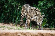 A large jaguar (Panthera onca) hunts along a river's edge in early morning,Mato Grosso, Pantanal, Brasil,South America