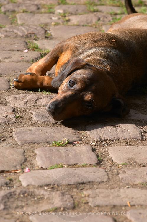 the dachshund dom bruno sorg eguisheim alsace france
