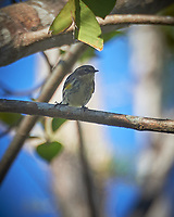 Yellow-rumped Warbler (Setophaga coronata). Clyde Butcher Swamp Bungalow. Image taken with a Nikon D4 camera and 80-400 mm VRII lens.