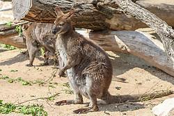 THEMENBILD - Die Kängurus in Abgrenzung zu den Rattenkängurus auch als Echte oder Eigentliche Kängurus bezeichnet, sind eine Familie aus der Beuteltierordnung Diprotodontia, aufgenommen am 19.05.2019 im Tiergarten Schönbrunn in Wien, Österreich // The kangaroos, in contrast to the rat kangaroos also known as real or actual kangaroos, are a family from the marsupial order Diprotodontia, pictured on 2019/05/19 at the Tiergarten Schönbrunn at Vienna, Austria. EXPA Pictures © 2019, PhotoCredit: EXPA/ Lukas Huter