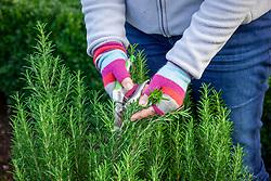 Picking sprigs of rosemary - Rosmarinus officinalis syn. Salvia rosmarinus