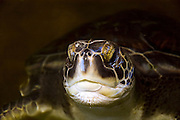 Israel, Maagan Michael beach, Chelonia mydas, green turtle after hatching on their first voyage to the Mediterranean Sea close up of the head May 2007