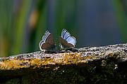 Blue Sulphur Butterflies, Yellowstone NP, USA