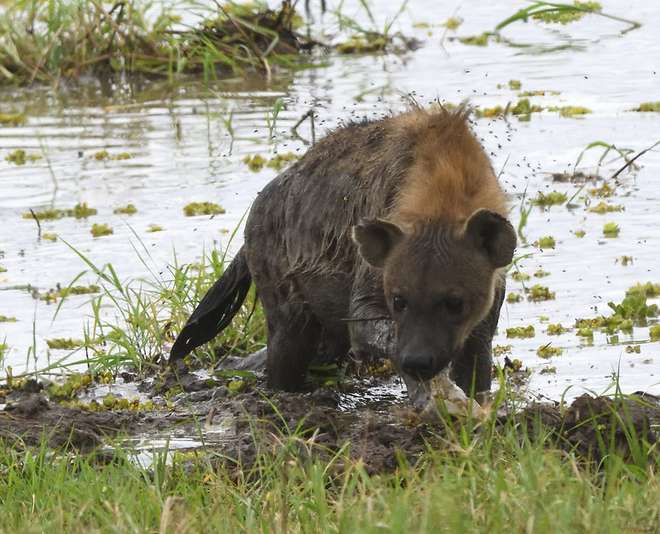 A spotted hyena (Crocuta crocuta) emerges from the mud after crossing a swampy pond in the Silale Swamp.  Tarangire National Park, Tanzania.