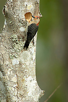 Red-bellied Woodpecker (Melanerpes carolinus), Arthur J Marshall National Wildlife Reserve - Loxahatchee, Florida, USA