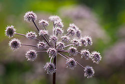 Angelica sylvestris 'Purpurea' syn. Angelica sylvestris 'Vicar's Mead'