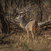 20211003 Maun Botswana <br /> Moremi nationalpark Okavangodeltat<br /> Kudu antilop<br /> <br /> <br /> ----<br /> FOTO : JOACHIM NYWALL KOD 0708840825_1<br /> COPYRIGHT JOACHIM NYWALL<br /> <br /> ***BETALBILD***<br /> Redovisas till <br /> NYWALL MEDIA AB<br /> Strandgatan 30<br /> 461 31 Trollhättan<br /> Prislista enl BLF , om inget annat avtalas.