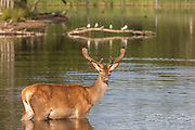 UNITED KINGDOM, London: 23 June 2020 <br /> A red deer enjoys a swim in Richmond Park, London in the early morning sun this morning. Temperatures are set to sore over the next few days reaching an expected 32 degrees Celsius in the capital on Thursday.