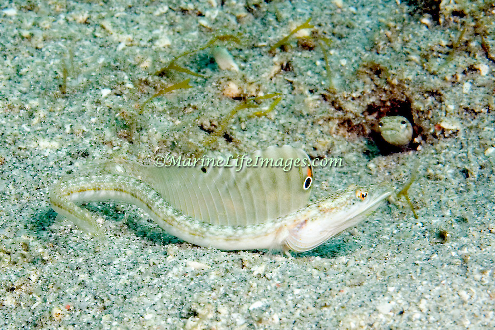 Yellowface Pikeblenny inhabit shallow grassy areas in the Bahamas and Caribbean; reside in tubes; picture taken Bequia, Grenadines.