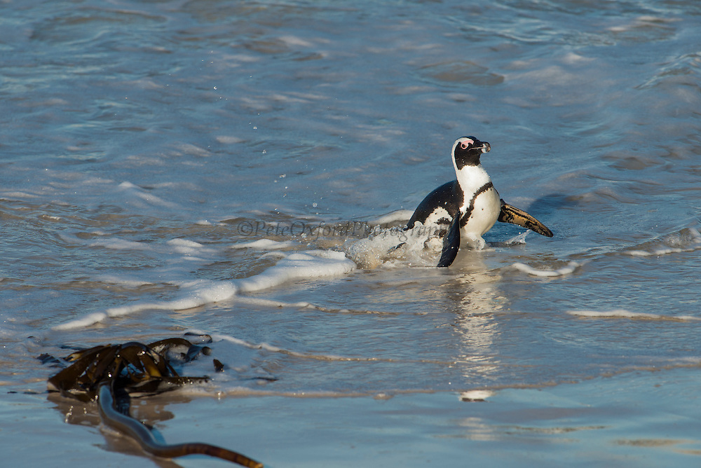 African penguin (Sphenisus demersus) returning to colony<br /> Situated near Simon's Town in False Bay between Fish Hoek and Cape Point.<br /> Western Cape<br /> SOUTH AFRICA