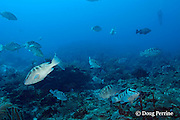 Belize Audubon Society biologist Kirah Forman records numbers of Nassau groupers, Epinephelus striatus ( Endangered Species ) in spawning aggregation, Lighthouse Reef Atoll, Belize, Central America ( Caribbean Sea )