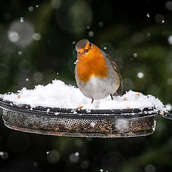 Robin in the garden this morning 8/2/2021