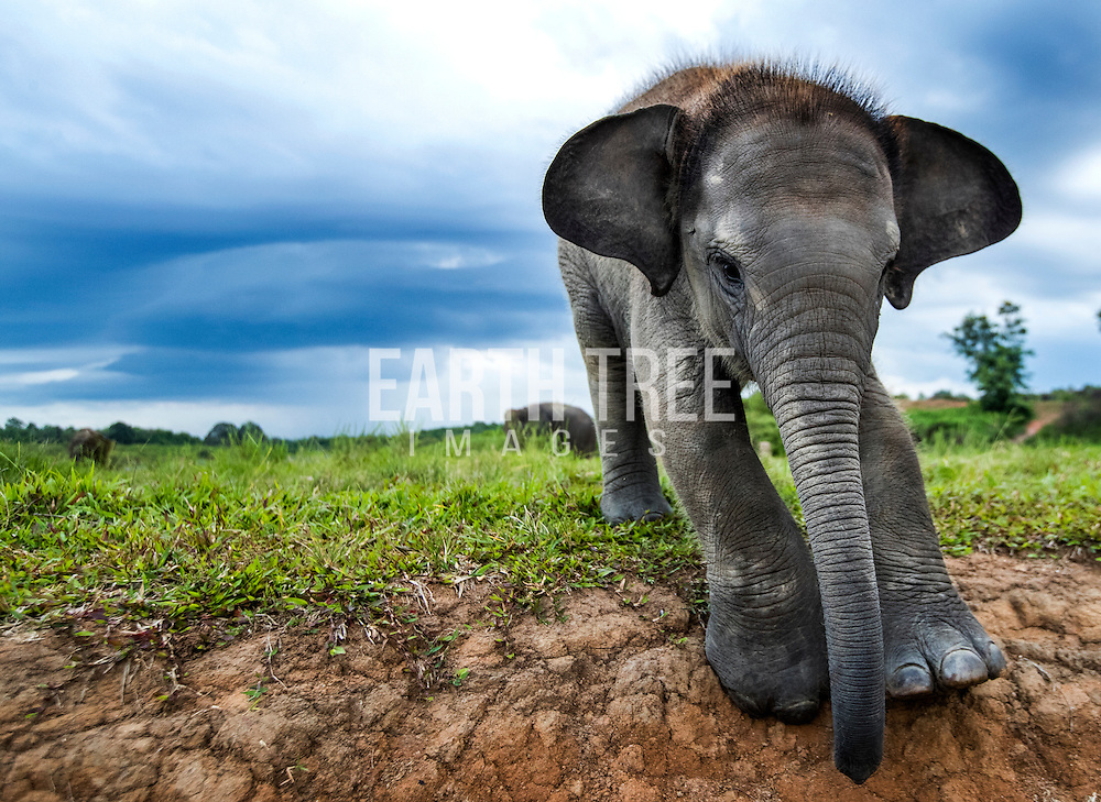 A young orphan Sumatran elephant is pictured at an elephant camp at Way Kambas national park, South Sumatra. Elephant mitigation such as fireworks, barriers and fences all help human settlements but sadly elephants suffer and many times mothers and babies are separated in the process. Photo: Paul Hilton for WCS