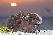 Laysan albatross, Phoebastria immutabilis, chick on beach at sunset, Sand Island, Midway Atoll, Midway National Wildlife Refuge, Papahanaumokuakea Marine National Monument, Northwest Hawaiian Islands, USA ( North Pacific Ocean )