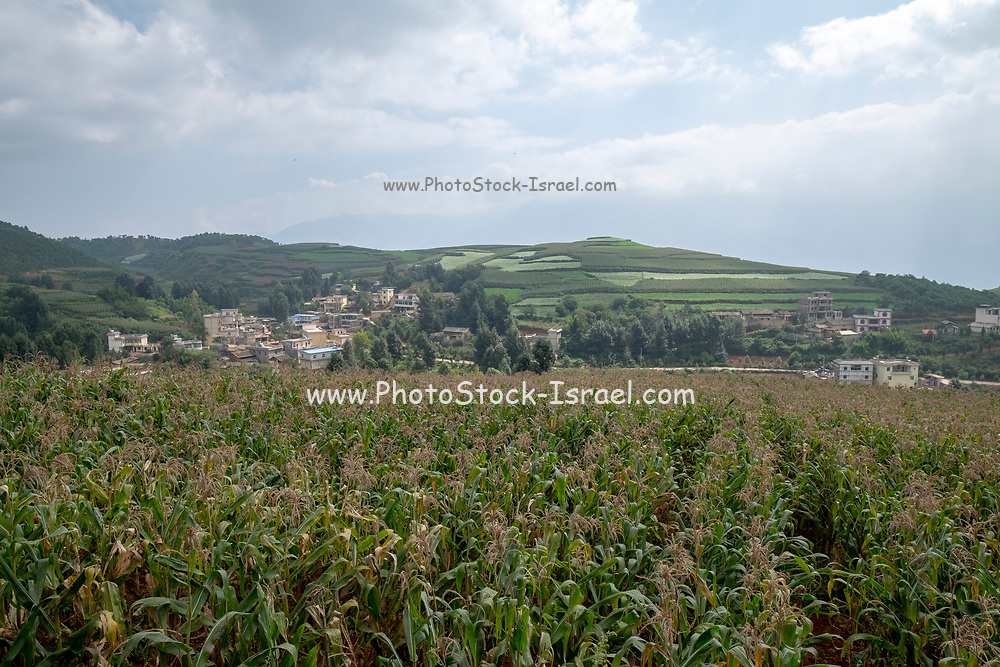 Rural agricultural landscape of rolling hills with fields of corn crops. Photographed near Kumming, Yunnan province in southwest China in September