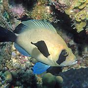 Masked Hamlet inhabit reefs in SW & NW Caribbean; picture taken Belize.