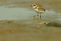 A Semipalmated Plover (Charadrius semipalmatus) foraging at low tide in the mudflats of the Orinoco River Delta, Venezuela.