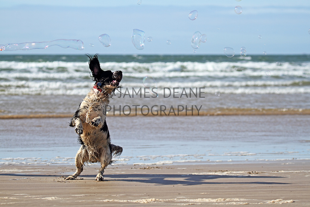 Spaniel and bubbles on The Big Strand. I particularly enjoy pet photography such as this and can be booked for commissions