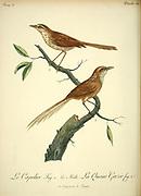 CAPOLIER (Unidentified) Male and Female from the Book Histoire naturelle des oiseaux d'Afrique [Natural History of birds of Africa] Volume 3, by Le Vaillant, François, 1753-1824; Publish in Paris by Chez J.J. Fuchs, libraire 1799 - 1802