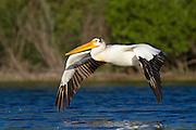 American White Pelican, Montana.