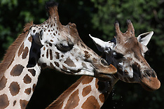 Madrid: The Rothschild Giraffes at Madrid Zoo - 25 July 2017