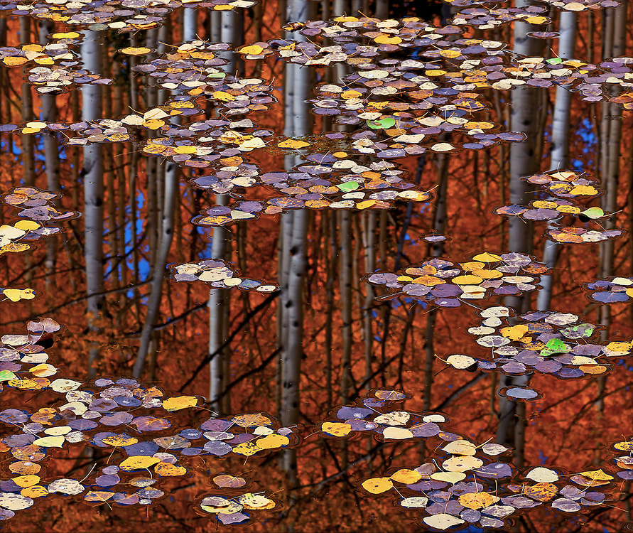 A motionless pond reflects the aspen grove that launched a flotilla of leaves.