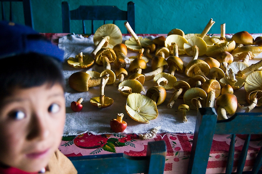 Freshly picked wild mushrooms lay on a dining room table in La Neveria, part of the Pueblos Mancomunados, a network of Zapotec villages in the Sierra Norte Mountains of Oaxaca state, Mexico on July 12, 2008. Wild mushrooms are a specialty of the region, and sold at the larger markets in the valley. Cuajimoloya, a neighboring community, celebrates the Feria del Hongo (Mushroom Festival) each year.