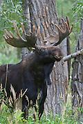 Shira's bull moose in velvet during summer in Wyoming